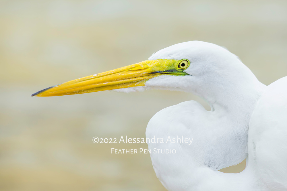 Close-up portrait of great egret (Ardea alba) with neck held at rest in s-shape.