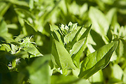 Close up of spinach leaves