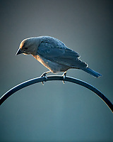 Cowbird. Image taken with a Nikon D5 camera and 600 mm f/4 lens (ISO 1600, 600 mm, f/4, 1/400 sec).
