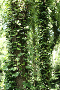 Ivy climbs trees along a path on Wimbledon Common, London SW19
