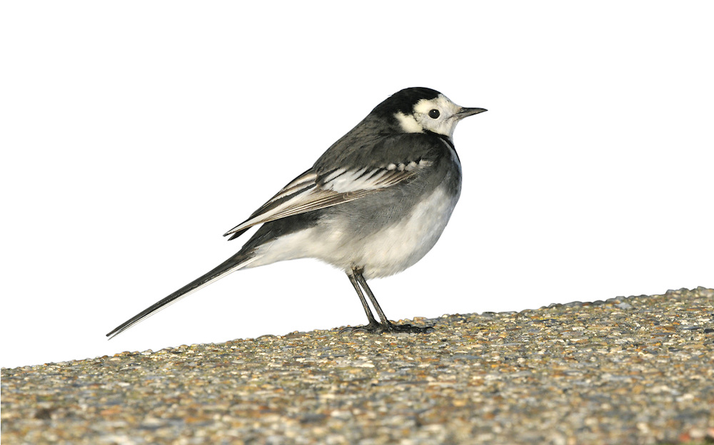 Pied Wagtail Motacilla alba yarrellii Length 18cm. Familiar black, grey and white bird that pumps its tail up and down and has a distinctive call. Sexes are dissimilar. Adult male in summer has mainly white underparts and black breast and upperparts; note white face, white wingbars, dark legs and bill, and white outer tail feathers. In winter, similar but throat is white and black on breast is less extensive. Adult female recalls an adult male in various seasons but back is dark grey. Juvenile and 1st winter birds have greyish upperparts, black rump, and whitish underparts; note whitish wingbars and yellowish wash to face. Voice Utters a loud chissick call. Status Favours bare ground and short grassland, often near farms, on playing fields or in car parks.