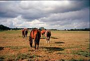 Horses in landschape, Essen, Belgium