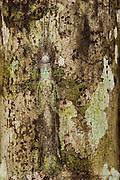 Lichen-mimic phasmid (Phasmida)<br /> Iwokrama Forest Reserve<br /> GUYANA<br /> South America