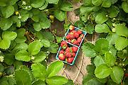 Photo of Hood strawberries from Columbia Farms U-Pick located on Sauvie Island outside of Portland, Oregon.