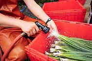 hands washing green onions