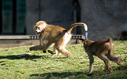 The chase is on as two immature baboons play in the Hamadryas baboon exhibit at the Oakland Zoo, Wednesday, Dec. 23, 2015.(D. Ross Cameron/Bay Area News Group)