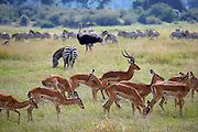 Herd of Impalas, Zebras and an Ostrich