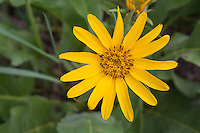 Somewhat common in the western half of North America, the arrowleaf balsamroot is a large and unmistakably beautiful and showy member of the sunflower family that is found in a variety of habitats from desert scrub and grasslands to mountain forests. They are often eaten by elk and deer, and were historically eaten by Native American tribes as raw or steamed greens, or as a flour made from the dried and pounded seeds. Even the long taproot is edible. This one was found growing in the sides of many canyons and ravines of the Eastern Cascades Mountains, just south of Ellensburg, Washington.