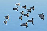 Canada geese (Branta canadensis) <br />Oak Hammock Marsh<br />Manitoba<br />Canada