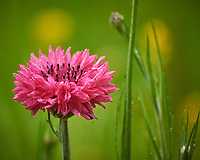 Pink Bachelor Button (Cornflower). Image taken with a Nikon D850 camera and 60 mm f/2.8 macro lens
