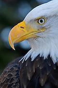Bald Eagle, Haliaeetus leucocephalus, Portrait, Kenai Peninsula, Homer Spit, Homer, Alaska. Digital original, #2006_0551 ©Robin Brandt