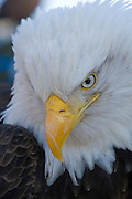 Bald Eagle, Haliaeetus leucocephalus, portrait, Kenai Peninsula, Homer Spit, Homer, Alaska. Digital original, #2006_0582 ©Robin Brandt