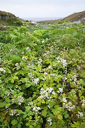 Bramble. Rubus fruticosus agg. Blackberry
