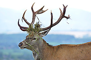 Red Deer - Cervus elaphus - male