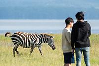 A Grant's Zebra, Equus quagga boehmi, walks past tourists on the shore of Lake Nakuru in Lake Nakuru National Park, Kenya
