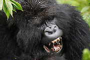 A mountain gorilla (Gorilla beringei beringei) calling and vocalizing during play time with other sub-adults, Volcanoes National Park, Rwanda