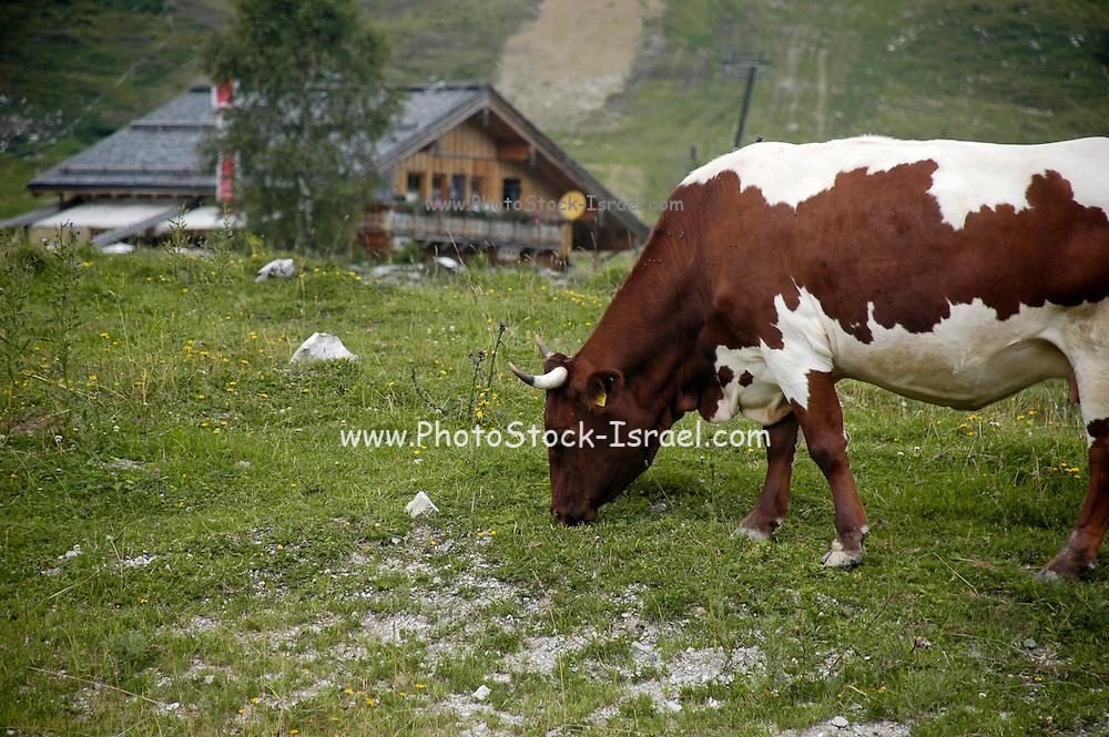 Austria, Upper Austria, Gosau village, in the Dachstein Mountains cows grazing in the fields a chalet;  in the background