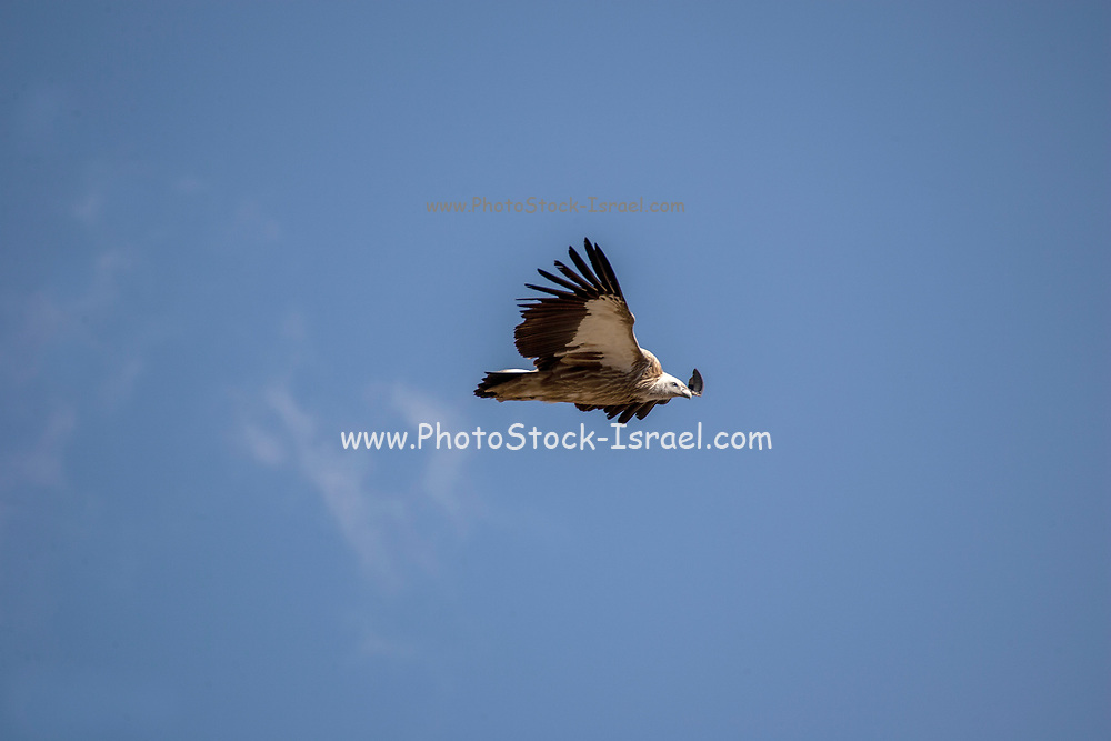 Himalayan griffon vulture (Gyps himalayensis). in flight with a blue sky background. The Himalayan vulture (Gyps himalayensis) or Himalayan griffon vulture is an Old World vulture native to the Himalayas and the adjoining Tibetan Plateau. It is one of the two largest Old World vultures and true raptors. Photographed in India