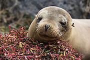 Portrait of a Galapagos sea lion, Zalophus californianus wollebaeki, South Plaza Island, Galapagos islands, Ecuador.
