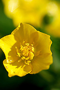 Buttercup flower, England