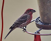 House Finch (Haemorhous mexicanus). Image taken with a Nikon D5 camera and 600 mm f/4 VR lens.