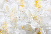 An in-camera triple exposure fills the frame with the bright white and yellow flowers of a blooming Madame Masson rhododendron in spring.