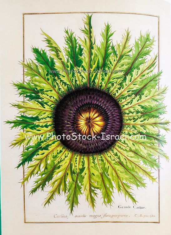 Carlina acaulis, the stemless carline thistle a 17th century hand painted on Parchment botany study of a from the Jardin du Roi botanical Florilegium of Prince Eugene of Savoy collection, Paris c. 1670 artist: Nicolas Robert