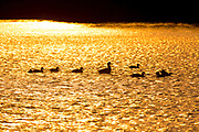 Ducks swim in a lake during a golden sun-set. Photographed at Ein Afek Nature Reserve, in Israel, in September