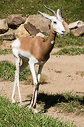 The Addra Gazelle (Nanger dama) is the world's rarest gazelle, critically endangered due to overhunting and habitat loss. They live south of the Sahara Desert in Chad, Mali, and Niger and are masters of drought survival, going months without rain. Indianapolis Zoo, Indianapolis, Indiana, USA.