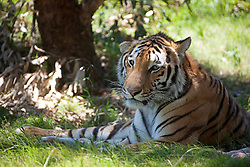 Tiger (Panthera tigris) lies in the shadow, South Africa