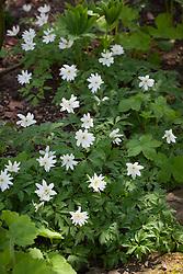 Anemone nemorosa 'Bracteata'. Wood anemone