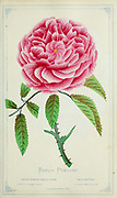 Baron Prevost - Hybrid Perpetual Rose from Dewey's Pocket Series ' The nurseryman's pocket specimen book : colored from nature : fruits, flowers, ornamental trees, shrubs, roses, &c by Dewey, D. M. (Dellon Marcus), 1819-1889, publisher; Mason, S.F Published in Rochester, NY by D.M. Dewey in 1872
