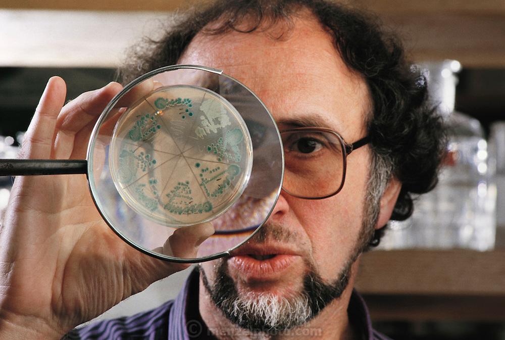Human Genome Project: Dr Jonathan Beckwith, American biologist, examining through a magnifying glass, a Petri dish containing a genetically- engineered colony of the bacteria, Escherichia coli, in his laboratory at Harvard Medical School. As a respected scientist working with genetic engineering technology, Beckwith is concerned about the social & legal implications of human genetic screening, an option that might arise from the successful completion of the human genome project - an ambitious plan to make a complete biochemical survey of every gene expressed on all the 23 pairs of human chromosomes. MODEL RELEASED (1989).