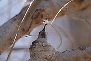 Photograph of an Anna's Hummingbird at Patagonia Lake State Park AZ