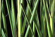 Close up selective focus photograph of Lemongrass stems