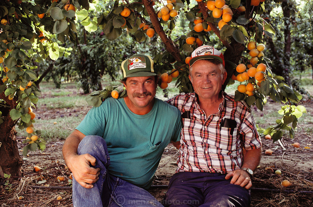 Gary and and his father Floyd Zaiger in one of their orchards. Floyd Zaiger (Born 1926) is a biologist who is most noted for his work in fruit genetics. Zaiger Genetics, located in Modesto, California, USA, was founded in 1958. Zaiger has spent his life in pursuit of the perfect fruit, developing both cultivars of existing species and new hybrids such as the pluot and the aprium. Zaiger with his son under an aprium (apricot & plum) tree. 1983. MODEL RELEASED.
