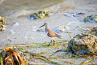 This common North American shorebird was found very far from where its summer nesting grounds in the Alaskan tundra. I found and photographed this western sandpiper at the southern tip of the Florida Everglades on a late winter day within sight of the Florida Keys! Sometimes these birds will spend the winter much further south in Central America.