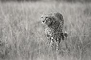 Cat catwalking across the iconic Maasai Mara runway.