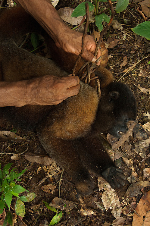 Bushmeat hunted by Huaorani Indians. Gabaro Community. Yasuni National Park.<br /> Amazon rainforest, ECUADOR.  South America<br /> Common Woolly Monkey (Lagothrix lagothricha) hunted with blowgun<br /> This Indian tribe were basically uncontacted until 1956 when missionaries from the Summer Institute of Linguistics made contact with them. However there are still some groups from the tribe that remain uncontacted.  They are known as the Tagaeri & Taromenani. Traditionally these Indians were very hostile and killed many people who tried to enter into their territory. Their territory is in the Yasuni National Park which is now also being exploited for oil.