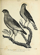 Singing Falcon, African Sparrow-Hawk Copperplate engraving From the Encyclopaedia Londinensis or, Universal dictionary of arts, sciences, and literature; Volume VII;  Edited by Wilkes, John. Published in London in 1810