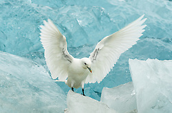 Ivory Gull (Pagophila eburnea) at blue ice in Spitsbergen, Svalbard, Norway