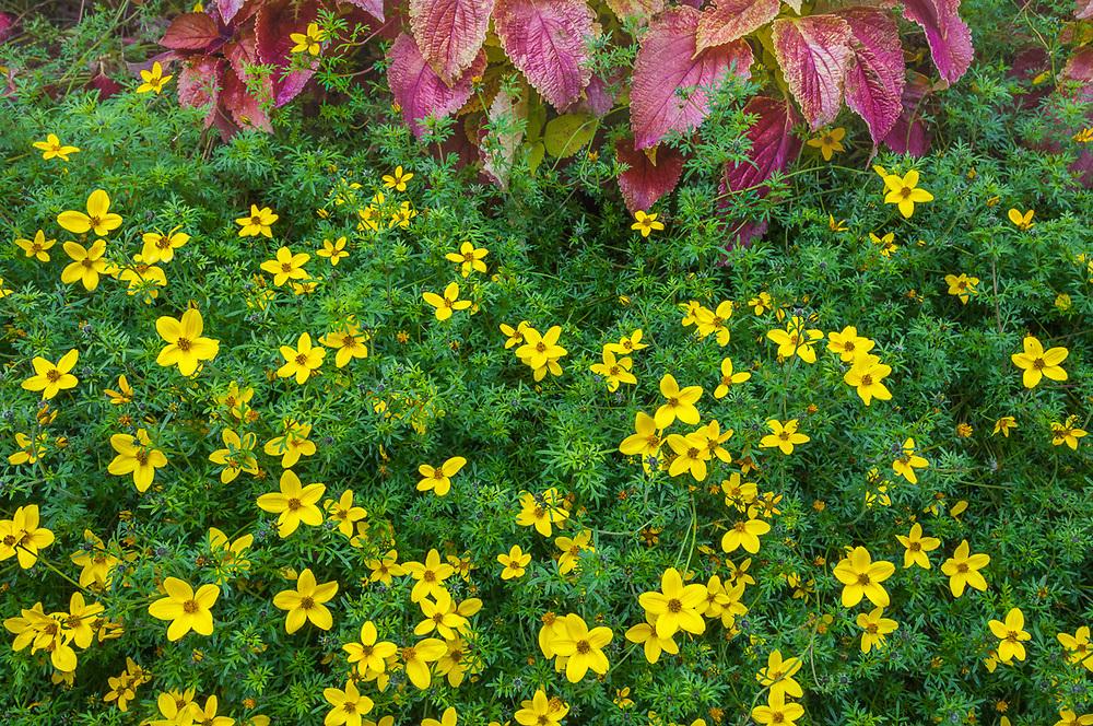 Hydrangea leaves and composite flowers, Newhalem, Washington, USA