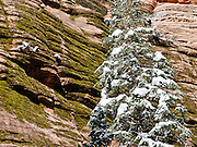 Snow coats a tree in a mossy canyon in Zion National Park, Springdale, Utah, USA. The North Fork of the Virgin River carved spectacular Zion Canyon through reddish and tan-colored Navajo Sandstone up to half a mile (800 m) deep and 15 miles (24 km) long. Uplift associated with the creation of the Colorado Plateaus lifted the region 10,000 feet (3000 m) starting 13 million years ago. Zion and Kolob canyon geology includes 9 formations covering 150 million years of mostly Mesozoic-aged sedimentation, from warm, shallow seas, streams, lakes, vast deserts, and dry near-shore environments. Mormons discovered the canyon in 1858 and settled in the early 1860s. U.S. President Taft declared it Mukuntuweap National Monument in 1909. In 1918, the name changed to Zion (an ancient Hebrew name for Jerusalem), which became a National Park in 1919. The Kolob section (a 1937 National Monument) was added to Zion National Park in 1956. Unusually diverse plants and animals congregate here where the Colorado Plateau, Great Basin, and Mojave Desert meet.