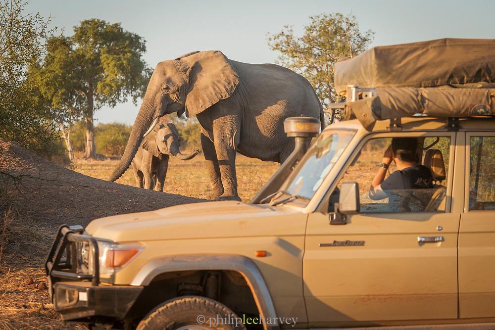 African elephants (Loxodonta africana) and car on safari, South Luangwa National Park Nsefu Sector, Zambia