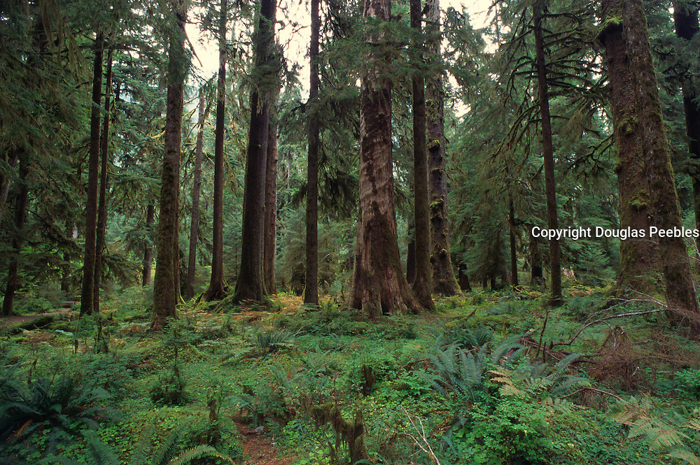 Hoh Rainforest, Olympic Peninsula, Washington<br />