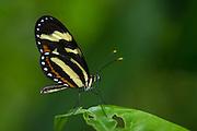 Menapis Tigerwing (Mechanitis menapis mantineus)<br /> Mashpi Rainforest Biodiversity Reserve<br /> Pichincha<br /> Ecuador<br /> South America