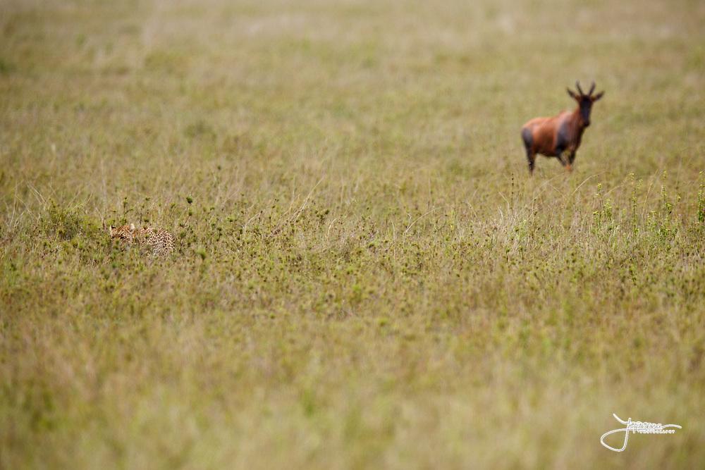 Leopard in Serengeti just failed to hunt a Topi calf