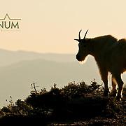 mountain goat backlit on cliff glacier national park