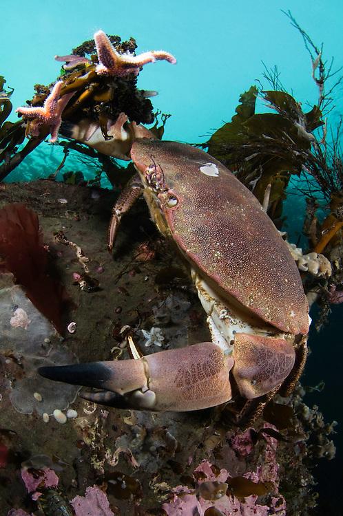Edible crab, Cancer Pagurus<br /> Atlantic marine life, Saltstraumen, Bodö, Norway