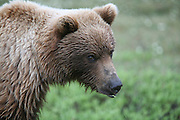 Grizzly Bear (interior Alaska), Ursus arctos; portrait, summer, alpine tundra, hibernates in winter, Denali National Park, Alaska, ©Craig Brandt, all rights reserved; brandt@mtaonline.net